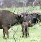 Nyfödd buffelkalv