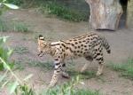 Afrikansk katt