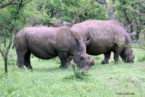 Noshörningar med avsågade horn.