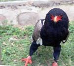 Tuff fågel