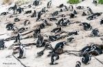 Pingviner, pingviner, överallt pingviner