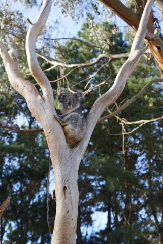 koala-liten